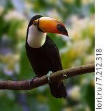 Купить «Toco Toucan over nature background», фото № 7212318, снято 14 мая 2014 г. (c) Яков Филимонов / Фотобанк Лори