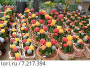 Бесхлорофильные кактусы на подвоях. Стоковое фото, фотограф Олеся Ефименко / Фотобанк Лори