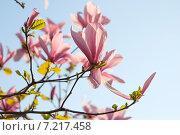 Магнолия в цвету. Стоковое фото, фотограф Олеся Ефименко / Фотобанк Лори