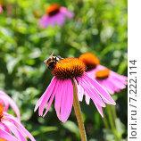 Купить «Шмель на цветах эхинацеи пурпурной», фото № 7222114, снято 12 августа 2014 г. (c) Михаил Коханчиков / Фотобанк Лори