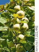 Купить «Спелые яблоки на дереве», фото № 7222442, снято 3 сентября 2014 г. (c) Юлия Бабкина / Фотобанк Лори