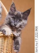 Купить «Котенок породы мейн-кун в корзине», фото № 7222966, снято 5 августа 2014 г. (c) Gagara / Фотобанк Лори