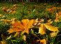 Опавшие осенние кленовые листья на траве, фото № 7226058, снято 22 июля 2017 г. (c) Зезелина Марина / Фотобанк Лори