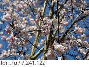 Цветущая сакура. Стоковое фото, фотограф Светлана Хромова / Фотобанк Лори