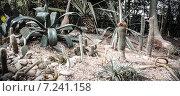 Кактусы. Стоковое фото, фотограф Игорь Леонов / Фотобанк Лори