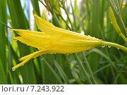 Желтый лилейник в каплях воды. Стоковое фото, фотограф Екатерина Бычкова / Фотобанк Лори