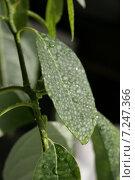 Листья авокадо. Стоковое фото, фотограф Lana / Фотобанк Лори