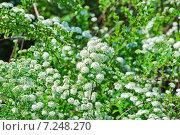 Купить «Декоративный кустарник Спирея Вангутта (Spiraea vanhouttei)», эксклюзивное фото № 7248270, снято 17 мая 2012 г. (c) Алёшина Оксана / Фотобанк Лори
