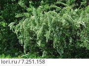 Кустарник Спирея Вангутта (Spiraea vanhouttei) Стоковое фото, фотограф Алёшина Оксана / Фотобанк Лори