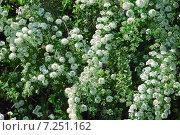 Купить «Декоративный кустарник Спирея Вангутта (Spiraea vanhouttei)», эксклюзивное фото № 7251162, снято 17 мая 2012 г. (c) Алёшина Оксана / Фотобанк Лори