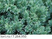 Зеленый фон с размытием, веточки с иголками. Стоковое фото, фотограф Олеся Ефименко / Фотобанк Лори