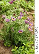 Купить «Прострел цветет, крупные фиолетовые цветки (сон-трава, пульсатилла, Pulsatilla)», эксклюзивное фото № 7271010, снято 8 мая 2011 г. (c) Щеголева Ольга / Фотобанк Лори