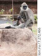 Самка обезьяна кормит своего детеныша, фото № 7272466, снято 4 ноября 2009 г. (c) Эдуард Паравян / Фотобанк Лори