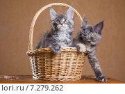 Купить «Котята породы мейн-кун в корзине», фото № 7279262, снято 5 августа 2014 г. (c) Gagara / Фотобанк Лори