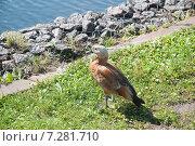 Огарь, или красная утка (Tadorna ferruginea) Стоковое фото, фотограф Алёшина Оксана / Фотобанк Лори
