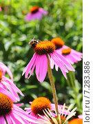 Купить «Шмель на цветке эхинацеи пурпурной», фото № 7283886, снято 12 августа 2014 г. (c) Михаил Коханчиков / Фотобанк Лори