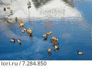 Купить «Утки на замерзшем водоеме», эксклюзивное фото № 7284850, снято 17 февраля 2015 г. (c) Елена Коромыслова / Фотобанк Лори