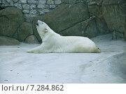 Белый медведь  в зоопарке, эксклюзивное фото № 7284862, снято 24 июля 2014 г. (c) Галина Шорикова / Фотобанк Лори