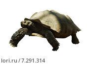 African spurred tortoise. Стоковое фото, фотограф Яков Филимонов / Фотобанк Лори