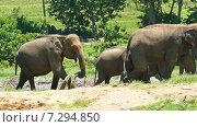 Слоны на прогулке, Шри-Ланка (2015 год). Стоковое видео, видеограф Михаил Коханчиков / Фотобанк Лори