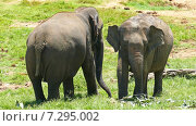 Слоны на Шри-Ланке (2015 год). Стоковое видео, видеограф Михаил Коханчиков / Фотобанк Лори