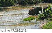 Слоны переходят реку, Шри-Ланка (2015 год). Стоковое видео, видеограф Михаил Коханчиков / Фотобанк Лори