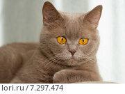 Купить «Британская кошка с медными глазами», фото № 7297474, снято 21 апреля 2015 г. (c) Момотюк Сергей / Фотобанк Лори