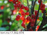 Ветка спелой красной смородины. Стоковое фото, фотограф Ирина Малашкина / Фотобанк Лори