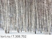 Роща белых берез. Стоковое фото, фотограф Роман Червов / Фотобанк Лори
