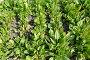 Щавель кислый растет на грядке, фото № 7308890, снято 25 апреля 2015 г. (c) Ирина Борсученко / Фотобанк Лори