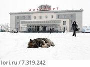 Бродячая собака спит на снегу на фоне здания аэропорта Петропавловск-Камчатский во время снегопада (2015 год). Редакционное фото, фотограф А. А. Пирагис / Фотобанк Лори
