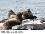 Купить «Северные морские львы (сивучи) на лежбище. Полуостров Камчатка, Авачинская бухта», фото № 7328886, снято 2 апреля 2015 г. (c) А. А. Пирагис / Фотобанк Лори