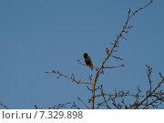Купить «Грач на ветке», фото № 7329898, снято 20 апреля 2014 г. (c) Дмитрий Чулков / Фотобанк Лори