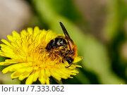 Первый сбор мёда. Стоковое фото, фотограф Котылко Марина / Фотобанк Лори