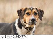 Купить «Портрет собаки крупным планом», фото № 7340774, снято 26 апреля 2015 г. (c) Алексей Назаров / Фотобанк Лори