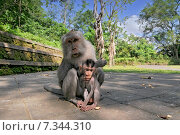 Купить «Monkey family adults and baby (Macaca fascicularis) near Pura Dalem Agung Padangtegal temple in Sacred Monkey Forest. Ubud Bali Indonesia.», фото № 7344310, снято 19 апреля 2019 г. (c) BE&W Photo / Фотобанк Лори