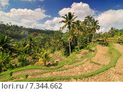 Купить «Terrace rice fields, Bali, Indonesia», фото № 7344662, снято 17 декабря 2018 г. (c) BE&W Photo / Фотобанк Лори