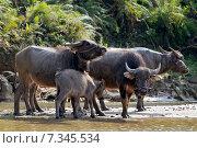 Купить «Vietnam, Sapa, The water buffalo or domestic Asian water buffalo», фото № 7345534, снято 7 декабря 2019 г. (c) BE&W Photo / Фотобанк Лори