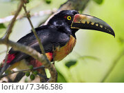 Купить «Collared Aracari (Pteroglossus torquatus) toucan, a near-passerine bird which breeds from southern Mexico to Panama, also Ecuador, Colombia and Venezuela.Collared Aracari (Pteroglossus torquatus) toucan, a near-passerine bird», фото № 7346586, снято 22 октября 2018 г. (c) BE&W Photo / Фотобанк Лори
