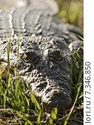 Купить «Botswana Crocodile in Chobe National Park Botswana, Africa, crocodile, Chobe, National Park, animal, wildlife CWO_035Africa. Crocodile close up», фото № 7346850, снято 16 июля 2019 г. (c) BE&W Photo / Фотобанк Лори