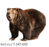 Купить «Бурый медведь на белом фоне изолировано», фото № 7347650, снято 11 апреля 2010 г. (c) Наталья Волкова / Фотобанк Лори