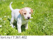 Купить «Милый щенок на зеленой траве», фото № 7361402, снято 25 июня 2019 г. (c) Matej Kastelic / Фотобанк Лори