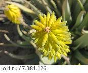 Купить «Плоды — коробочки алое вера. Желтый. Liliaceae Juss», фото № 7381126, снято 15 марта 2015 г. (c) Лада Иванова / Фотобанк Лори