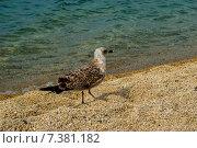 Чайка идет по пляжу. Стоковое фото, фотограф eva cuba air / Фотобанк Лори