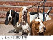Собаки породы бассет хаунд ожидают хозяина. Стоковое фото, фотограф Мячикова Наталья / Фотобанк Лори