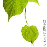 Купить «Зеленые листья липы на белом фоне», фото № 7390862, снято 29 апреля 2015 г. (c) Анна Полторацкая / Фотобанк Лори
