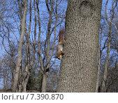 Купить «Рыжая белка на дереве», фото № 7390870, снято 9 марта 2014 г. (c) Анна Полторацкая / Фотобанк Лори