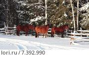 Три лошади стоят около лесной изгороди на заснеженной дороге, зима в деревне. Стоковое видео, видеограф Кекяляйнен Андрей / Фотобанк Лори