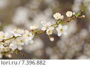 Вишня в цвету, цветущая вишня, цветение вишни, крупный план, макро. Стоковое фото, фотограф Алексей Бородин / Фотобанк Лори
