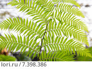 Купить «green fern frond», фото № 7398386, снято 7 февраля 2015 г. (c) Syda Productions / Фотобанк Лори